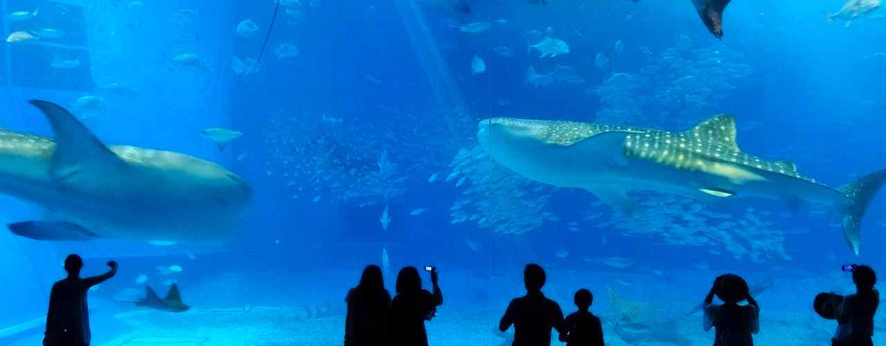 Follow the expert! The top 5 spots you must check out in Okinawa Churaumi Aquarium